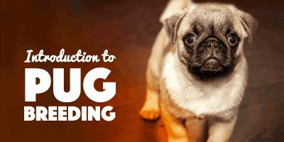 Breeding Pugs — Introduction To Pug Breeding