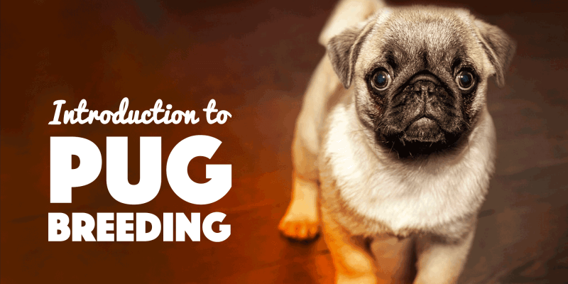Breeding Pugs Introduction To Pug Breeding