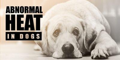 Abnormal Heat In Dogs: Silent, Absent, Prolonged, Split, etc.