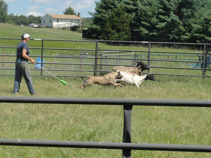 herding boerboel dog
