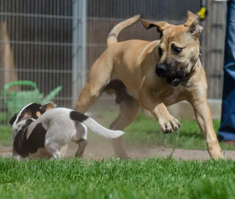playing boerboel