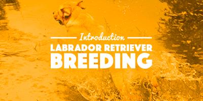 Labrador Breeding — Introduction & Context