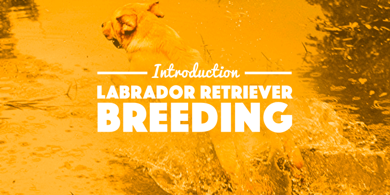 labrador breeding