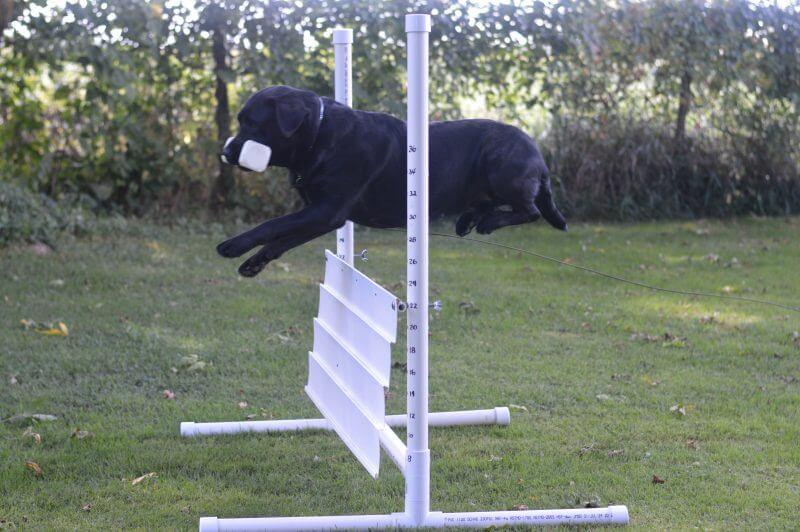 labrador schutzhund