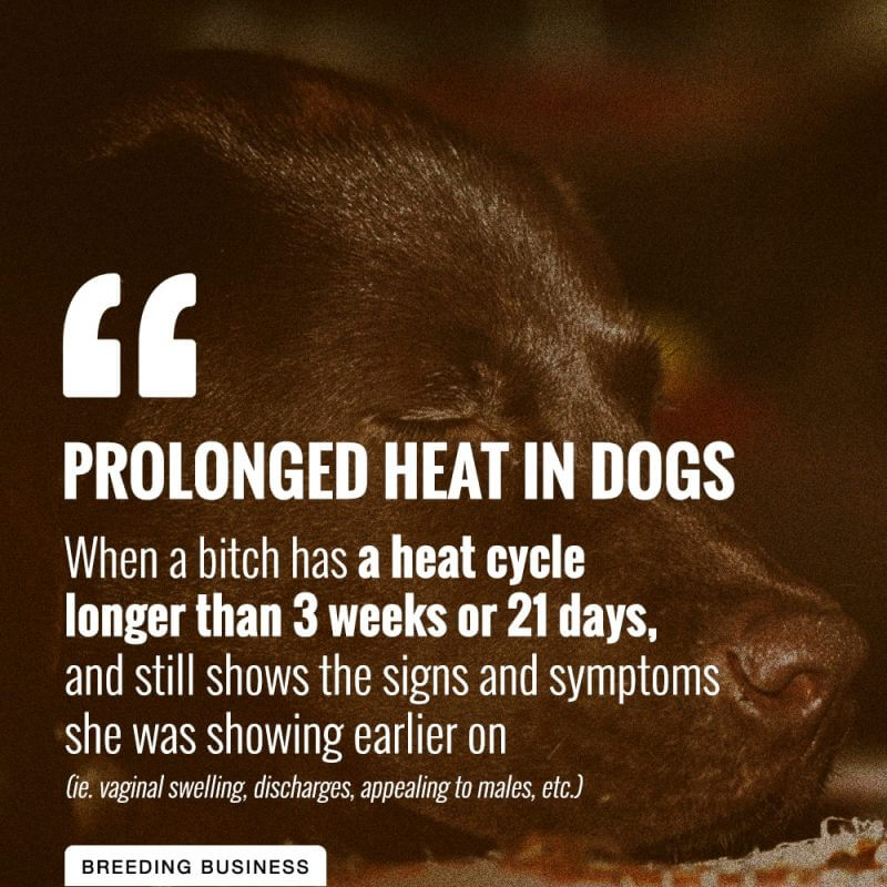 prolonged heat in dogs