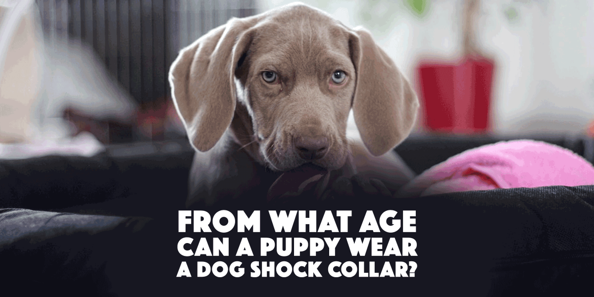 puppy shock collar age dog training 1200x600 png