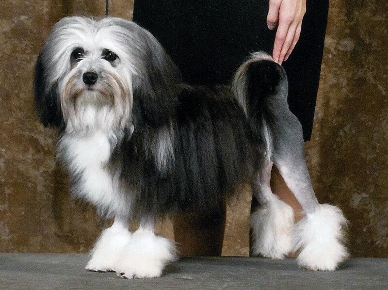 lowchen dog show