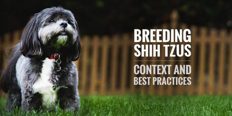 breeding shih tzu dogs