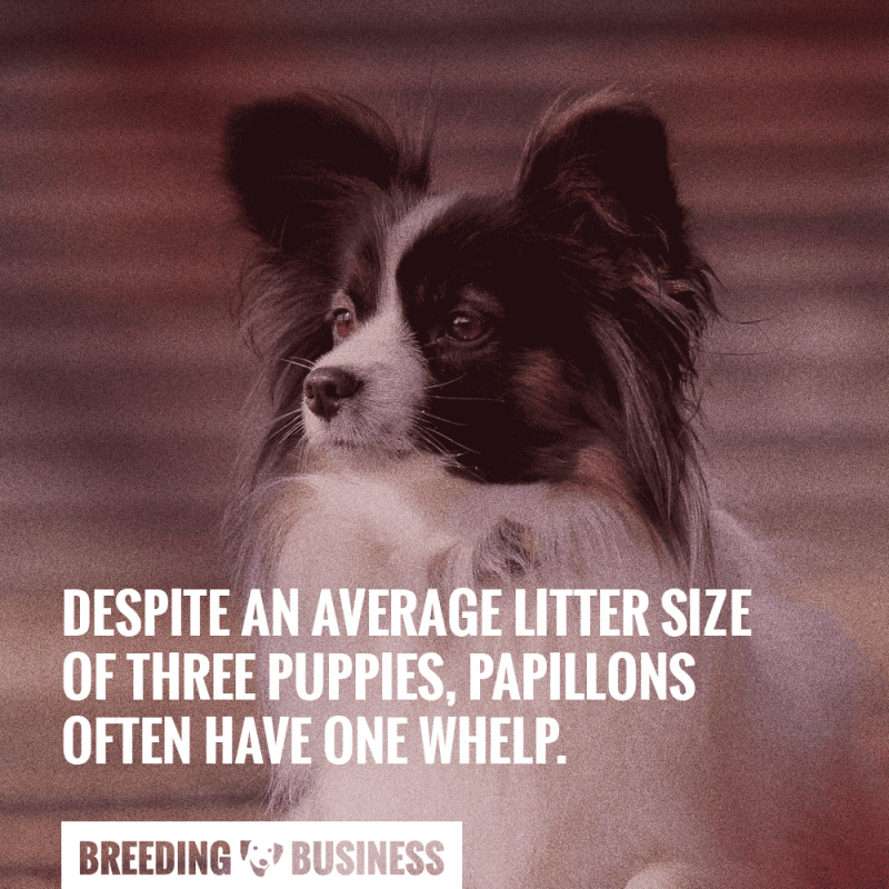 breeding papillons litter size