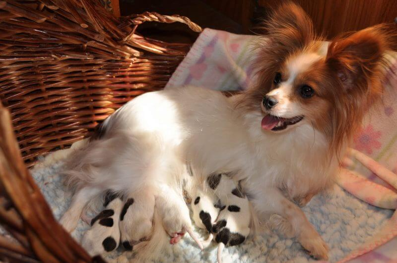 newborn papillon litter of puppies