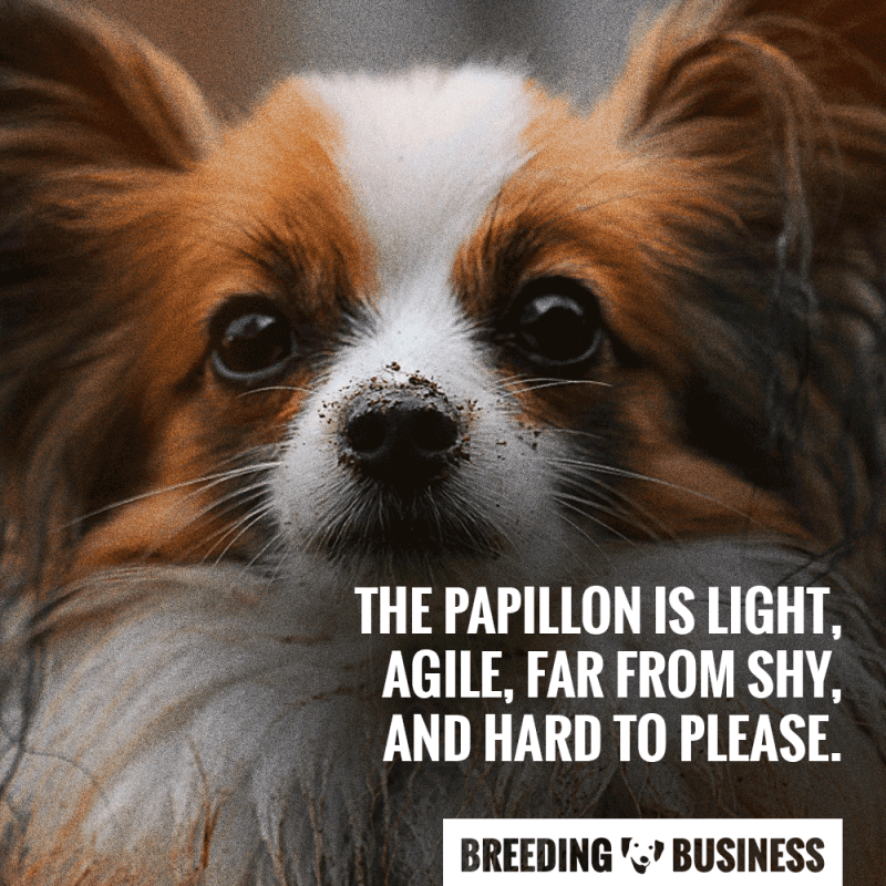 papillon breed temperament