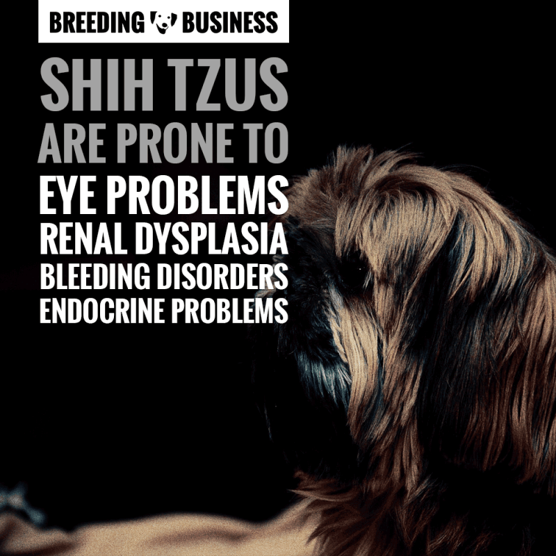 Shih Tzus are prone to eye problems, renal dysplasia, bleeding disorders and endocrine problems.