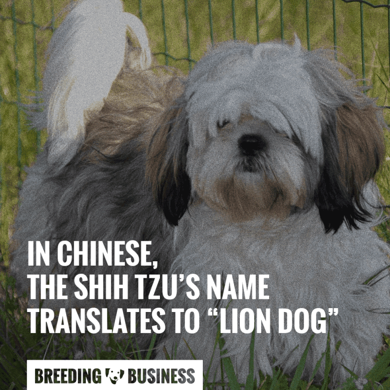 shih tzu translates to lion dog in chinese.