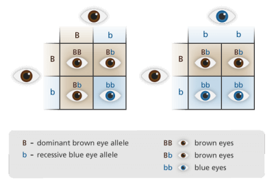 recessive and dominant alleles chart