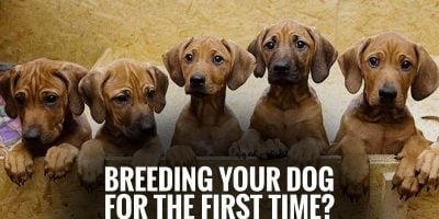 FAQ: Breeding Your Dog For The First Time