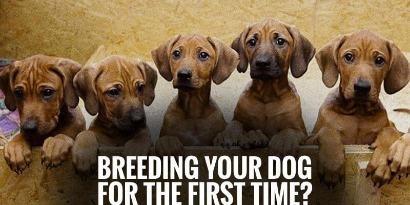 Q&A — Breeding Your Dog For The First Time