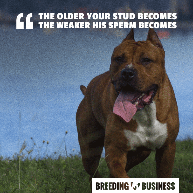 stud breeding age limit