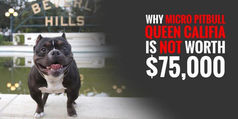 Queen Califia micro pitbull price