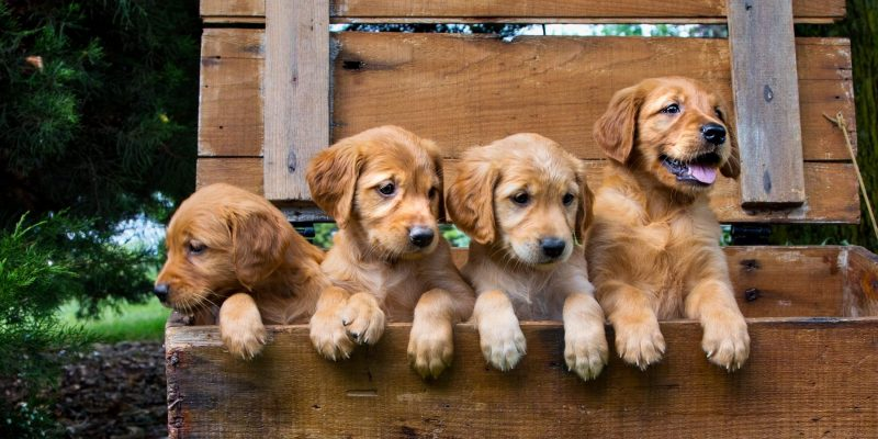 DNA Profiling and Parentage Analysis in Dog Breeding