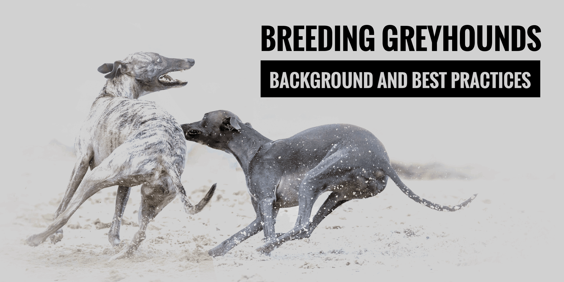Breeding Greyhounds — Guide and Best Practices in Greyhound Breeding