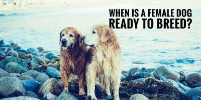 When Is a Female Dog Ready To Breed?