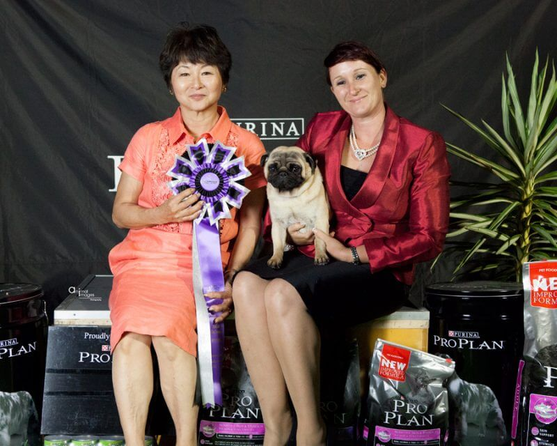 AUS NZ Champion Pug: Kabova Move It Baby aka 'Dyson'