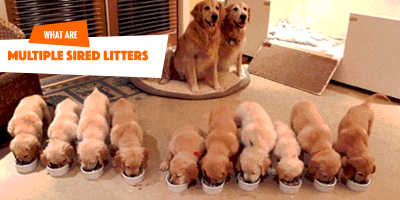Can Dogs Have More Than One Father?