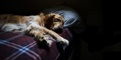 Guide to Dog Abortion — Methods, Cost, Pills, Injections…