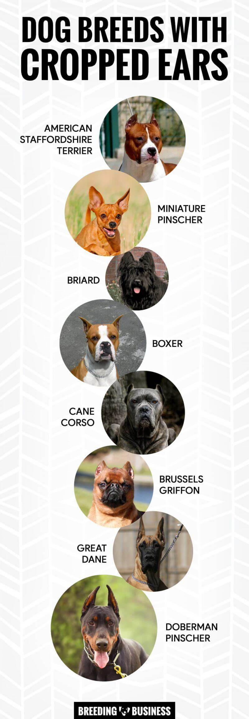 dog breeds with cropped ears (Infographic)
