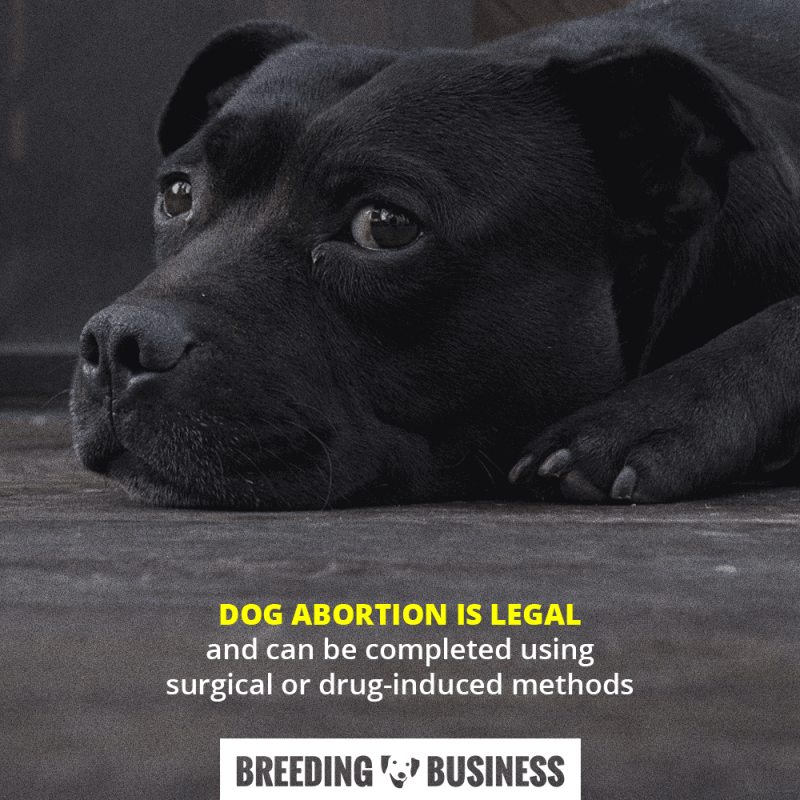 Dog abortion is legal and can be completed through a surgical spay or a drug-induced procedure.