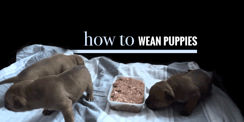 When do puppies start eating solid foods? How to wean puppies?