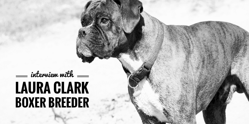 Boxer breeding interview with Laura Clark from Clarkenwells Kennels