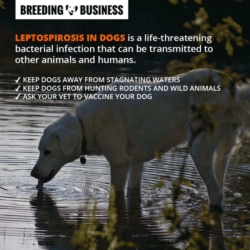 Preventing Leptospirosis in Dogs