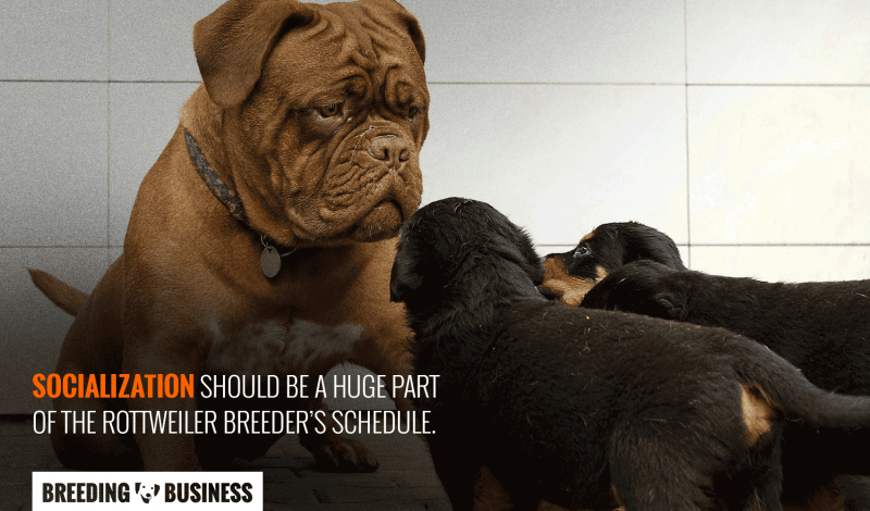 Guide To Rottweiler Breeding Health Best Practices And Future