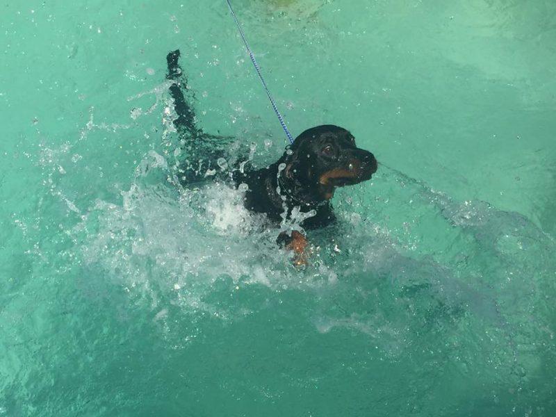 swimming rottweiler from vom bosen blick
