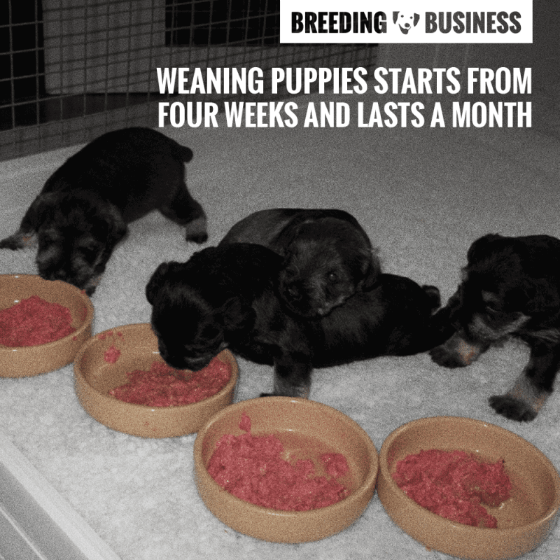 Weaning Puppies When Do Puppies Start Eating Solid Foods