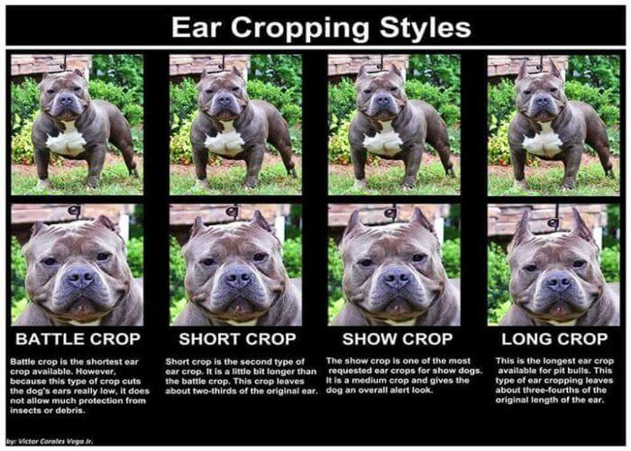 different ear crop styles
