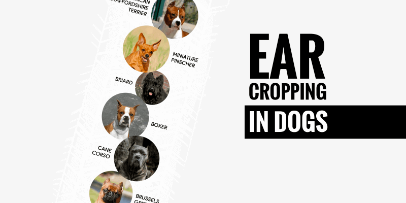 Ear Cropping In Dogs