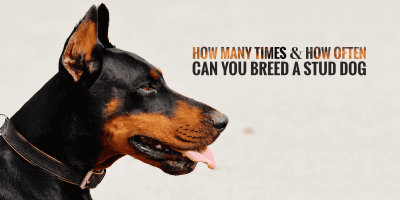 How Many Times Can You Breed a Male Dog?