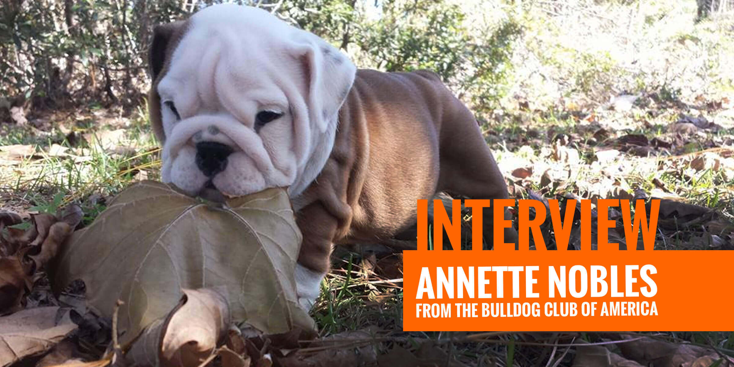 interview w   annette nobles from the bulldog club of america
