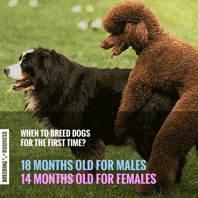 Do Not Breed a Female Dog on Her First Heat — Breeding Business