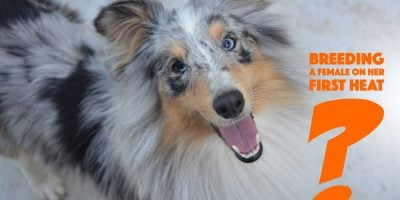 breeding a female dog on her first season