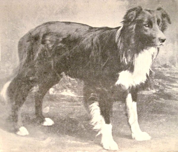 old hemp border collie history