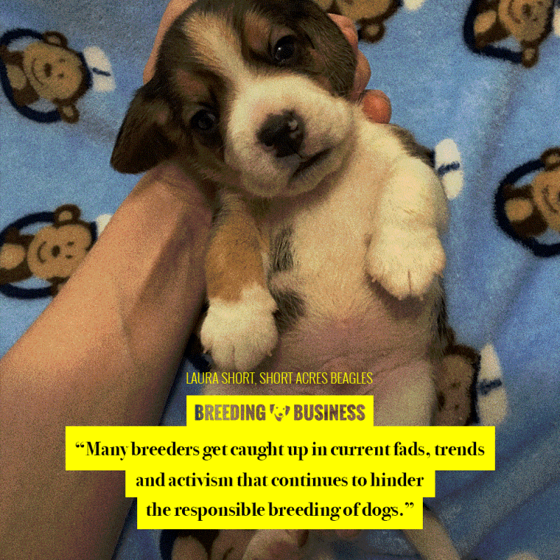 beagle breeding trends