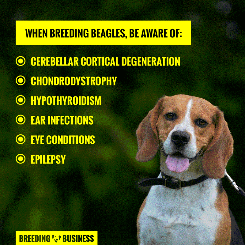 health when breeding beagles