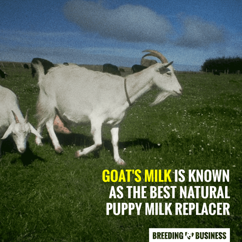 goats milk as a natural dog milk replacement