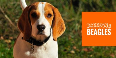 How To Breed Beagles — History, Health & Best Practices in Beagle Breeding