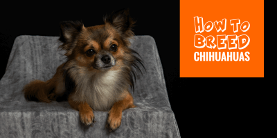 how to breed chihuahuas