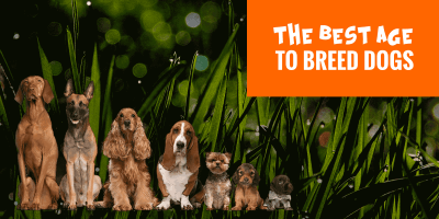 When to Breed a Dog — When Is The Best Breeding Age For Dogs?