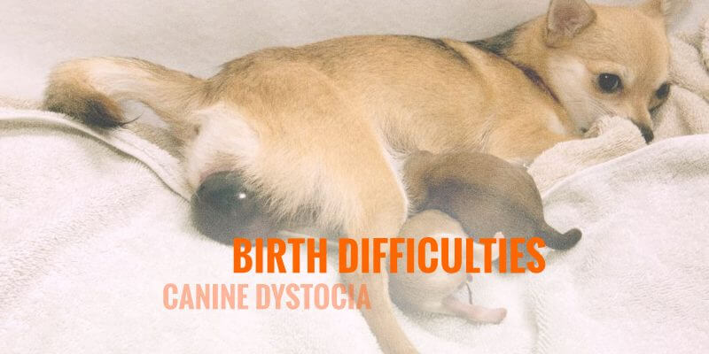 Canine Dystocia and Birth Difficulties in Dogs
